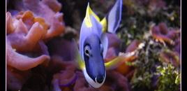 Powder Blue Tang in my 125 reef