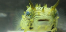 Spiny Box Puffer  Kind of a cute little guy