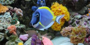 Powder Blue Tang We call Carmen