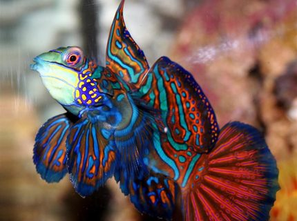 Mandarin Dragonet Synchiropus Splendidus My beloved Mr Mandarin met his fate when I tried to catch the fuzzy dwarf and the two fish collided The dragonet was poisoned and died hours later I had him for a yearThis pic won a contest on swfcom and is their poster for the green mandarin