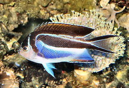 Bellus angelfish genicanthus bellus photos for Names of fish to eat