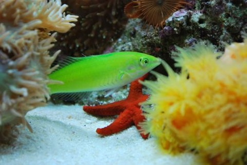 Green wrasse Money