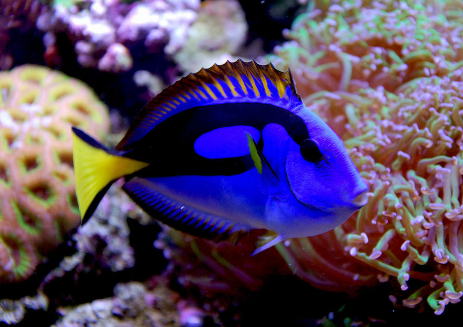 Luisgon 39 s saltwater fish photo id 27733 full version for Blue tang fish facts