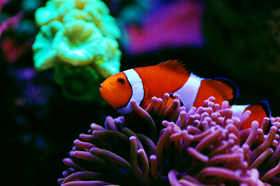 How to deal with marine fungus in the saltwater aquarium for Freshwater clown fish