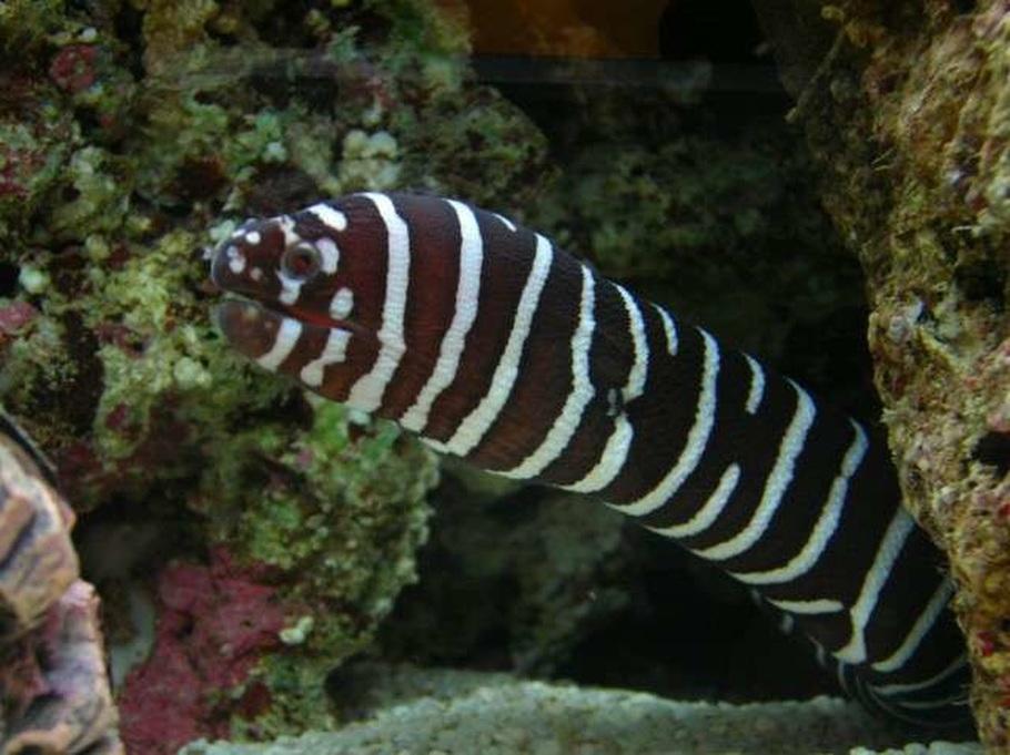 Moray Eel Size Moray Eels Require a Diet