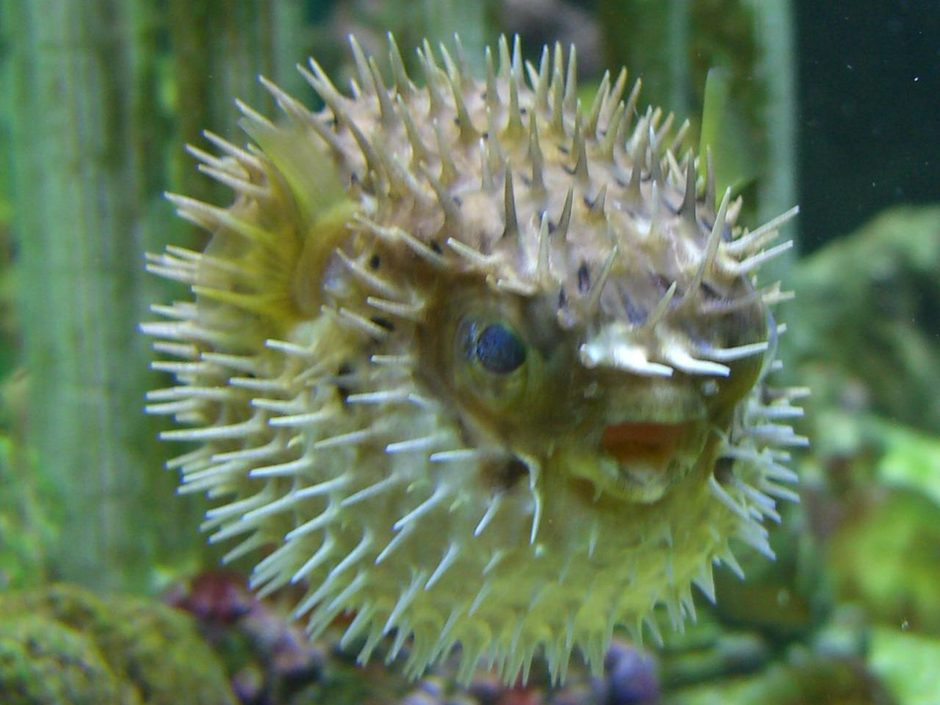 Porcupine puffer diodon holocanthus photos for Freshwater puffer fish care