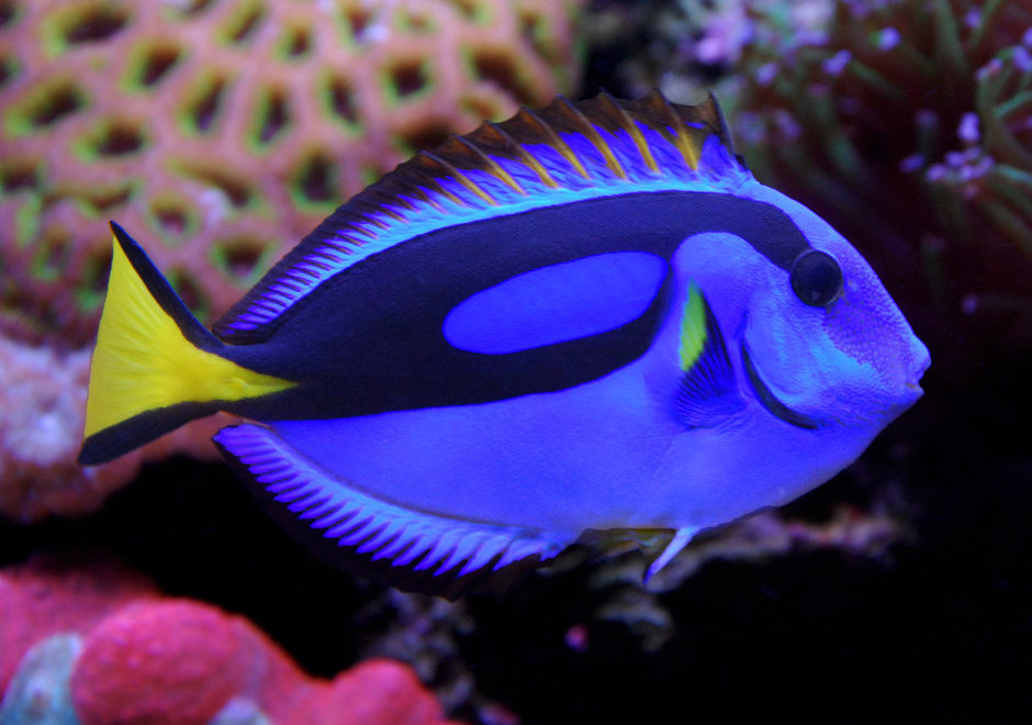 Fish the amazing creature that live underwater tiger for Royal blue tang fish