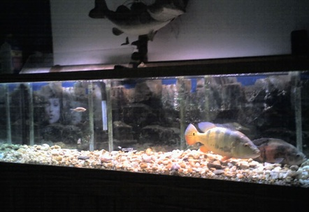 120 gallon with tiger oscar 6yrs and peacock bass 25yrs