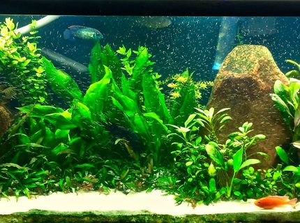 6 month old high tech 120 gallon planted cichlid tank
