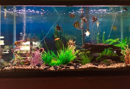 100 gallon freshwater tank with 19 fish and multiple live plants
