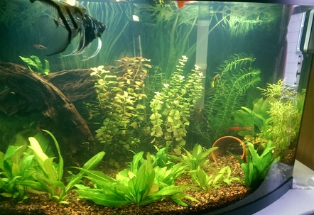 36 gal planted 6 months old