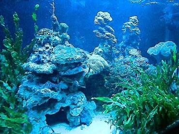 Marine algae can be beneficial in the saltwater tank.