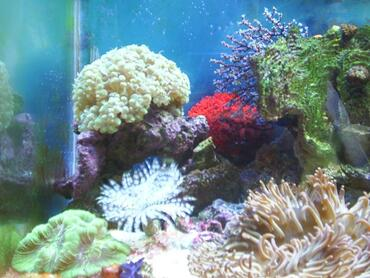 Types of Coral for Reef Tanks