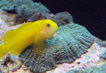 Caring for Saltwater Gobies