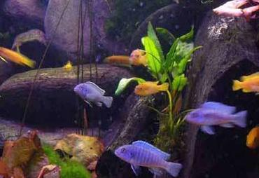 Tips for Keeping Shoaling Species in the Aquarium