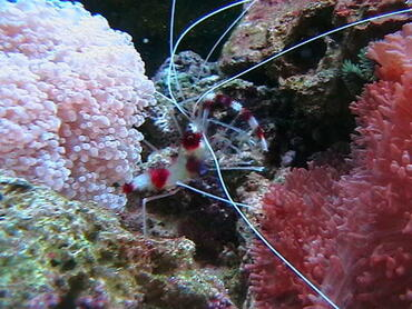 Marine Shrimp for the Saltwater or Reef Tank