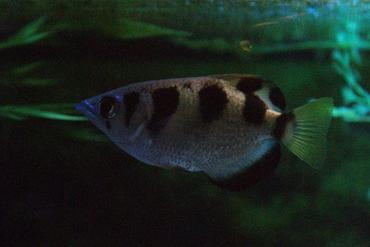 Species Spotlight: Archerfish