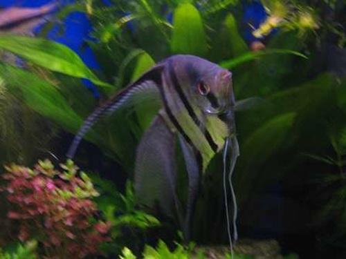 you need to know about freshwater angelfish ratemyfishtank