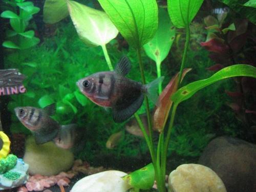 Stocking Your Tank With Schooling Fish Ratemyfishtank Com