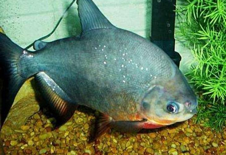 Cultivating a Tank for Red Bellied Pacus