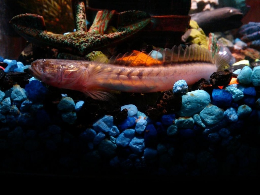 The Top 6 Freshwater Goby Species for Your Tank