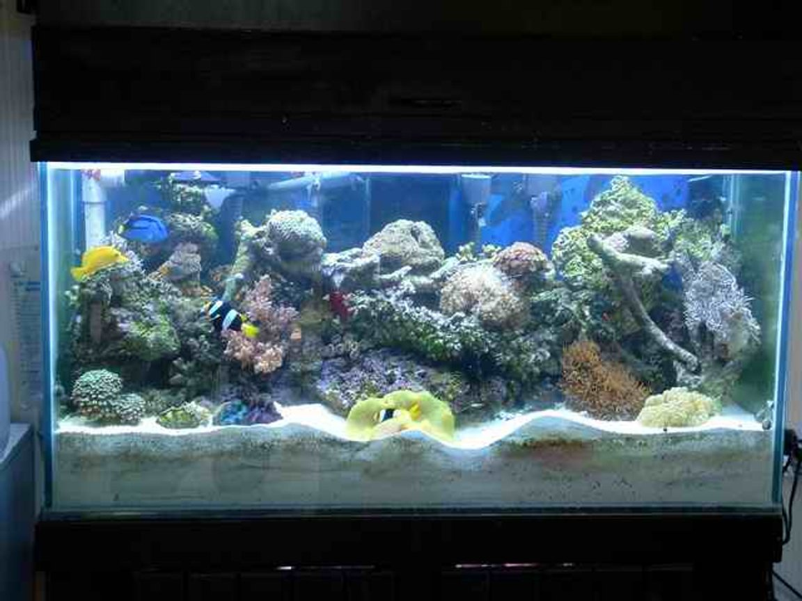 "reef tank (mostly live coral and fish) - 90gal reef ready tank with 180 pounds of live rock 7"" deep sand bed"