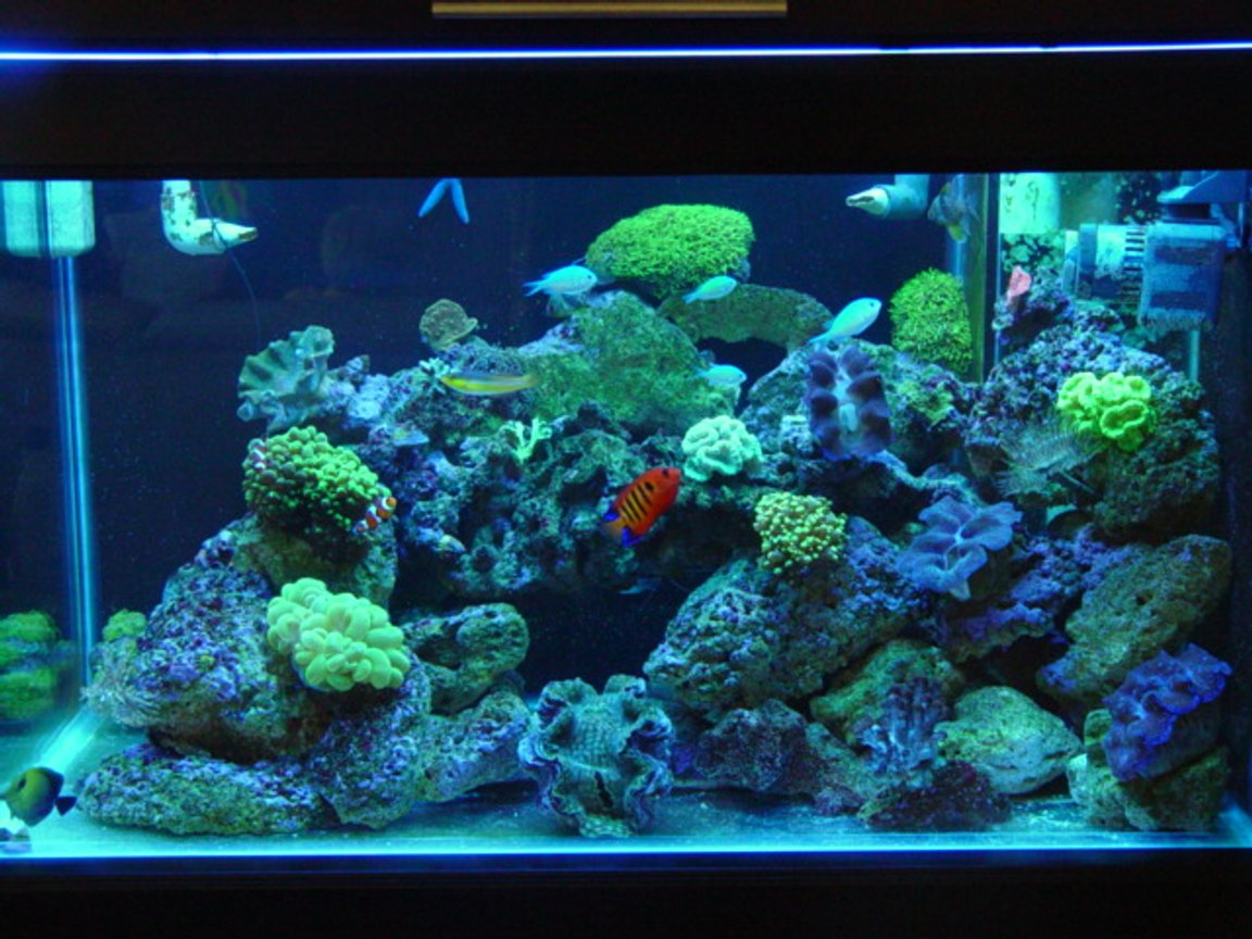 62 gallons reef tank (mostly live coral and fish) - 62 gal 36x20x20 40 gal sump reef tank. SPS. LPS, 1x250 PFO ballast with Sun aquatics 20K. with T-5 Actinic's for supplement lighting, kalk reactor all lighting on a different digital timers, topp off with RO/DI, neon wrasse, algae blenny, 2 HI fin gobies, flame angel, 5 green chromis, scopas tang, 2 pajama cardinals, blue linkia starfish, orange brittle star, srtiped brittlestar, assorted turbo's ,cerith''s snails lots, 3 cleaner's, 2 x peppermints green candy cane, yellow candy cane, frogspawn, hammer, star polyops, green bubble coral, gaint feather duster ,normal feather duster's, red chilli sponge, 3 crocea clams, 1 squamosa, branching provona, orange sun corals, green cap, pink cap, plate leather , green hydropona, branching leather.