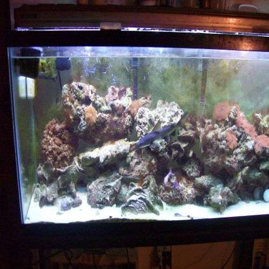 55 gallons reef tank (mostly live coral and fish) - picture of one of my fish an live corals