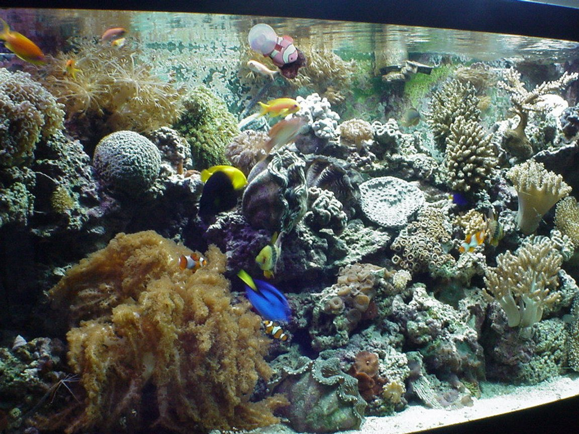 125 gallons reef tank (mostly live coral and fish) - front view