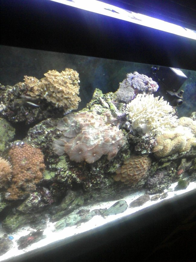 55 gallons reef tank (mostly live coral and fish) - reef tank (55 gal)