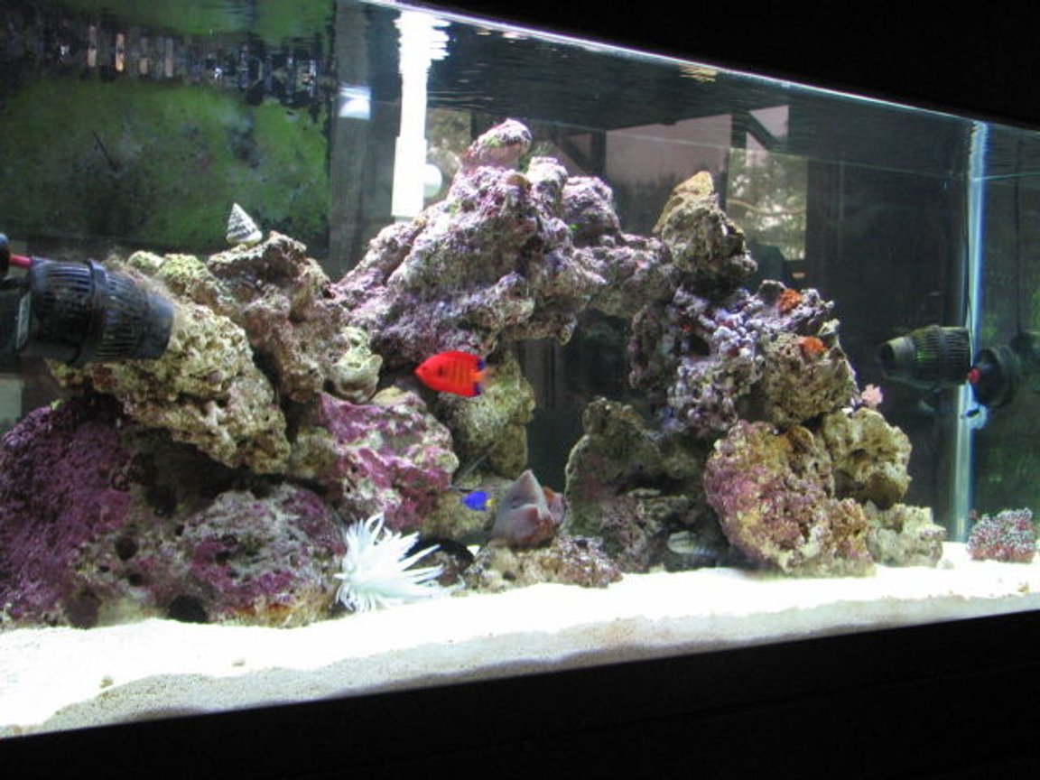 75 gallons reef tank (mostly live coral and fish) - Tank after two months