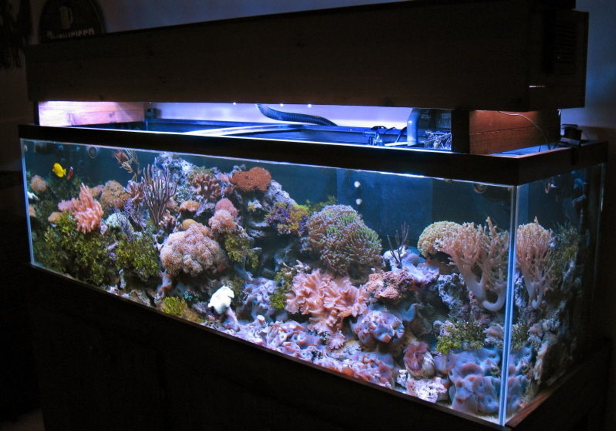 125 gallons reef tank (mostly live coral and fish) - 125 gallons reef 2-175watts MH Reeflux 10K + 2-160watts VHO Remora AquaC Pro Skimmer 3-Koralia PH's 1/4hp chiller