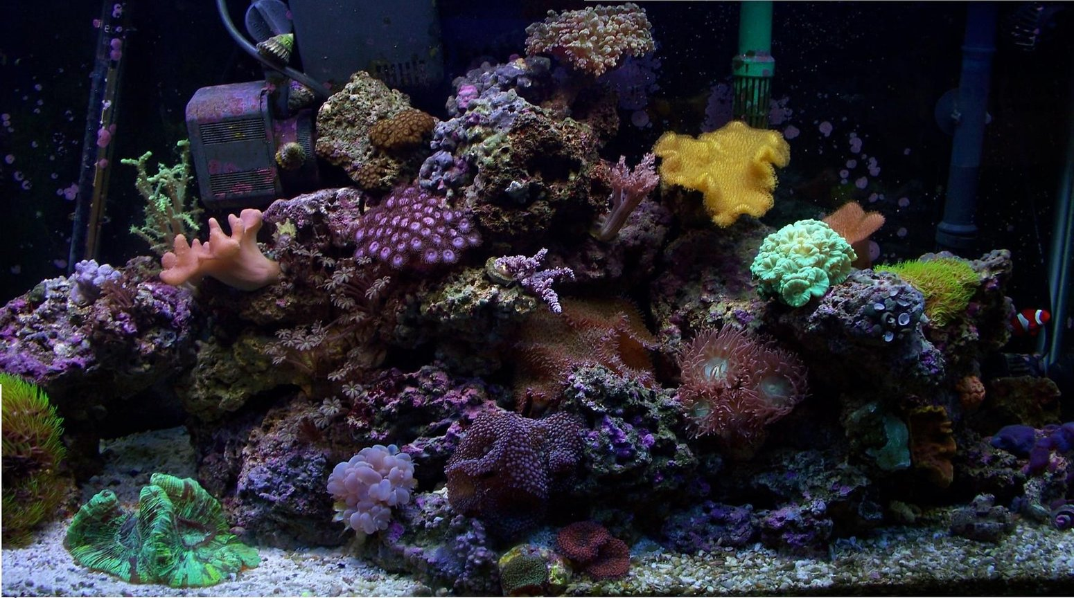 38 gallons reef tank (mostly live coral and fish) - 38 G MIXED REEF