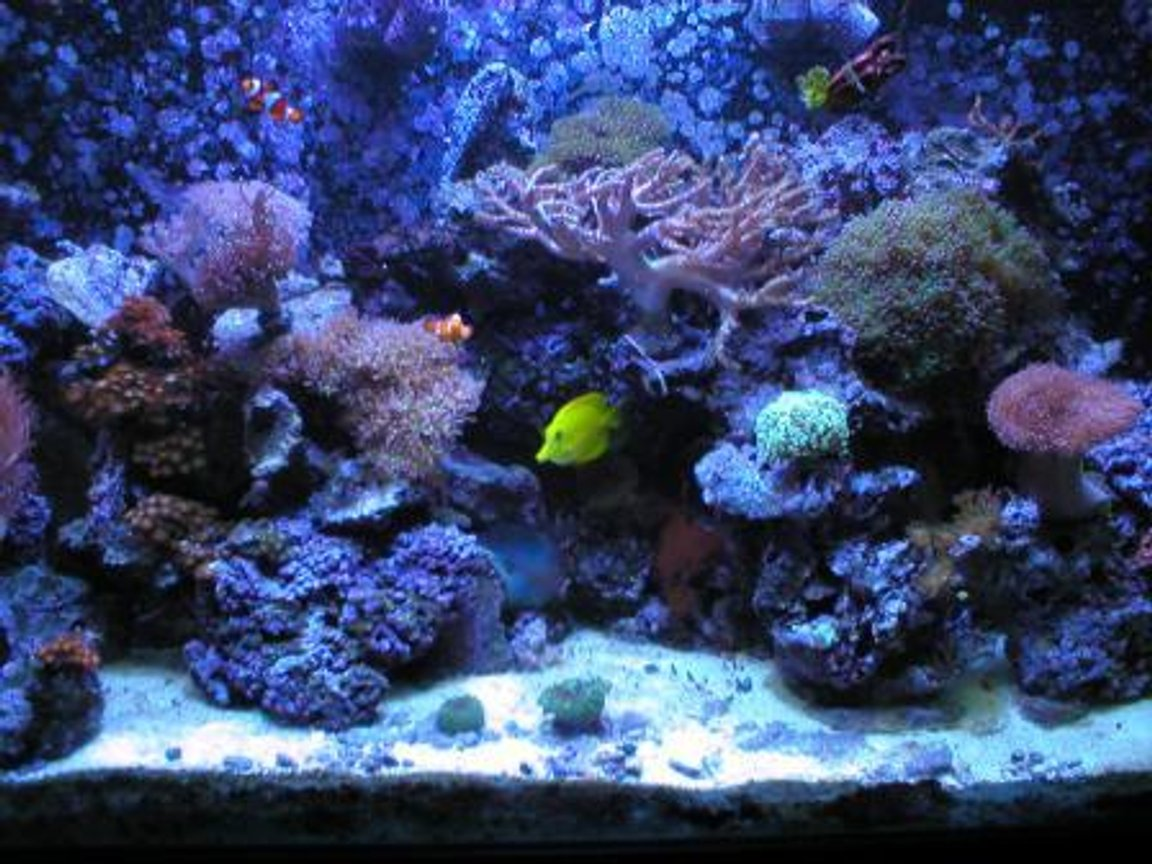 110 gallons reef tank (mostly live coral and fish) - Full frontal with halide