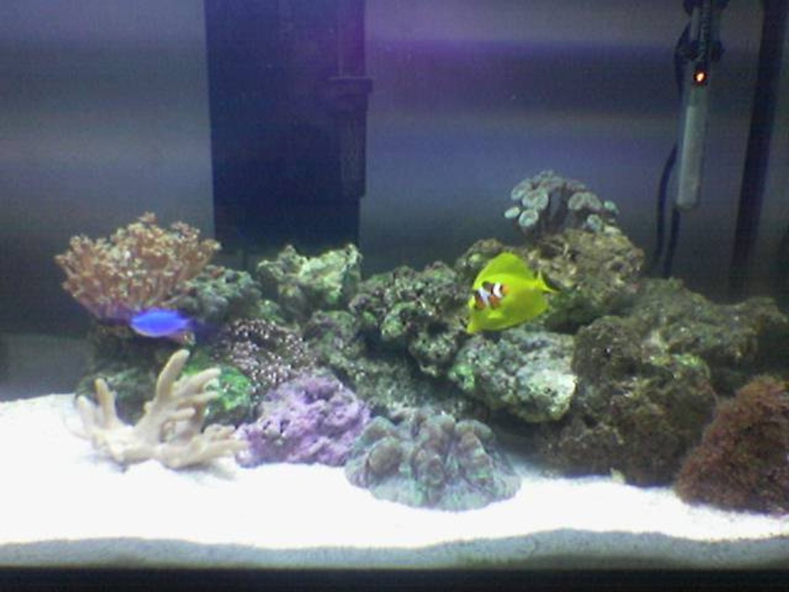 30 gallons reef tank (mostly live coral and fish) - Newly started 30 Gallon Reef Tank, 25 lbs of Fiji Live Rock - 40 lbs Live Sand - Aqualight™ Deluxe Series 130 Watts; Two-65 watt Coralife 50/50™ Compact - H.O.T. Magnum Canister Filter -Yellow Tang - Paracanthurus hepatus - True Percula Clown - Amphiprion percula - Orange Diamond Goby - Valencienna puellaris - Blue Devil Damsel - Chrysiptera cyanea - 10 Scarlet Hermit Crabs - 3 Large Turbo Snail - Turbo sp. - 3 Small Peppermint Shrimp - Veined Shrimp & 2 Large Peppermint Shrimp - Veined Shrimp - Star Polyps (Green Assorted) - Clavularia species - Mushroom Polyp - Green Ricordea