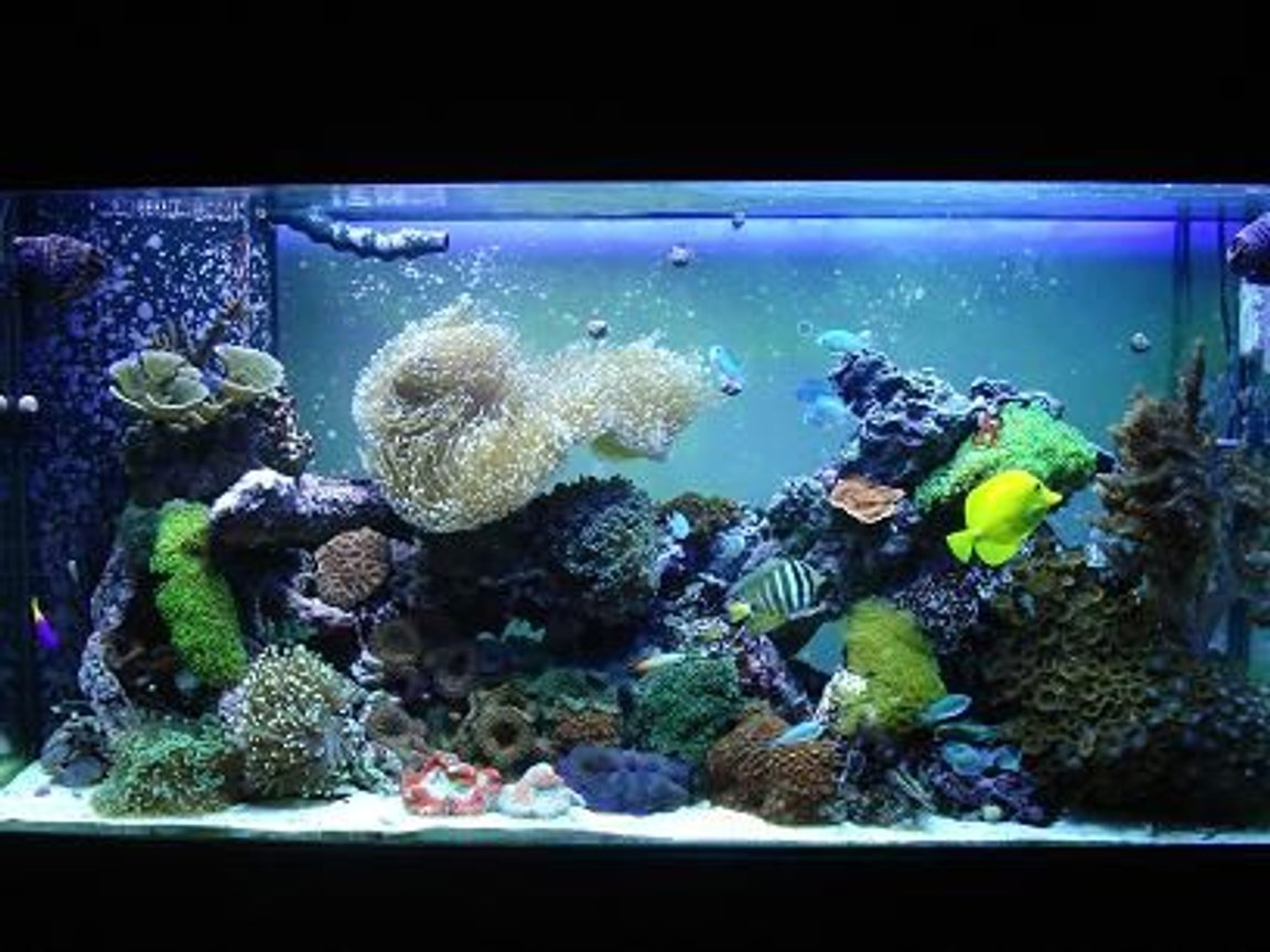 90 gallons reef tank (mostly live coral and fish) - my reef