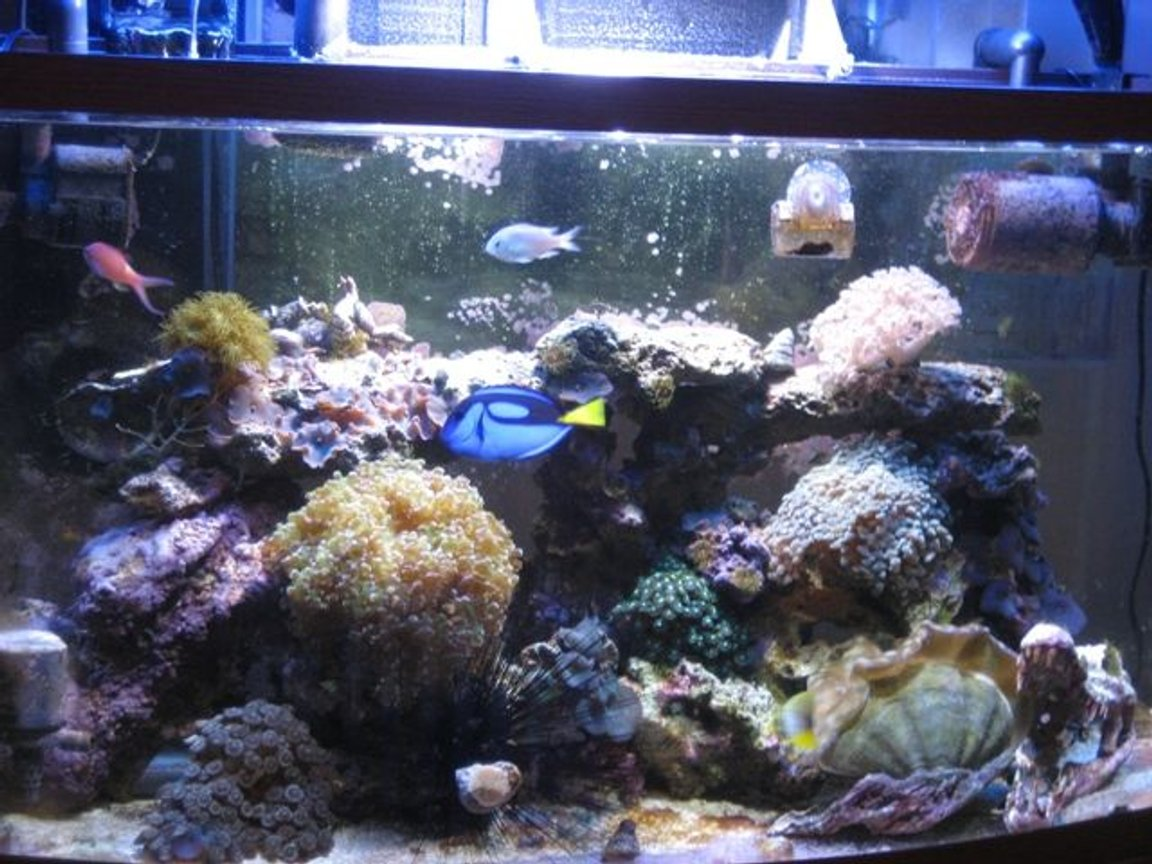 50 gallons reef tank (mostly live coral and fish) - 50 gallon berlin style reef tank Pacific blue tang red green anthia six line wrasse red sea sailfin tang blue chromis hammer coral frogspawn coral pumping xenia yellow polyps green zoanthids deresa giant clam purple and green striped mushroom coral and more