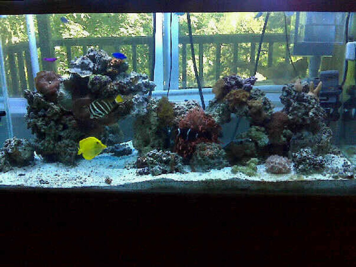 80 gallons reef tank (mostly live coral and fish) - 80 Gallon tank: 55 gallon sump with refugium (2) 400 watt Metal Halide (2) Atinic t5 Protein Skimmer (2) Phosban Reactor 150 100+ pounds of live rock Fish: (1) Sailfin Tang (1) Yellow Tang (1) Maroon Clown (1) Fridmani (1) Snowflake Eel (1) Blue Damsel (5) Green Chromis Lots of Crabs and Snails!!! Corals: Rose Bulb Anemone Long tentacle tip rose Anemone Elegance Coral Mushroom Coral - Bullseye Mushroom Coral - Frilly Green Mushroom Coral - Fuzzy Grass Mushroom Coral - Green Hairy Mushroom Coral - Green Rhodactis Mushroom Coral - Blue Mushroom Coral - Blue Spotted Mushroom Coral - Blue Stripe Mushroom Coral - Striped Green Metallic Leather - Finger Green Star Polyp Xenia - Blue Anthelia Yellow Polyps Zoos - Brown Zoos - Green Center Button Polyps Zoos - Orange Zoos - Orange Rim Tube Coral, Orange Birdsnest Coral - Pink Horn Coral, Fluorescent Cup Coral, Turbinaria Montipora Coral, Encrusting, Green Tooth Coral