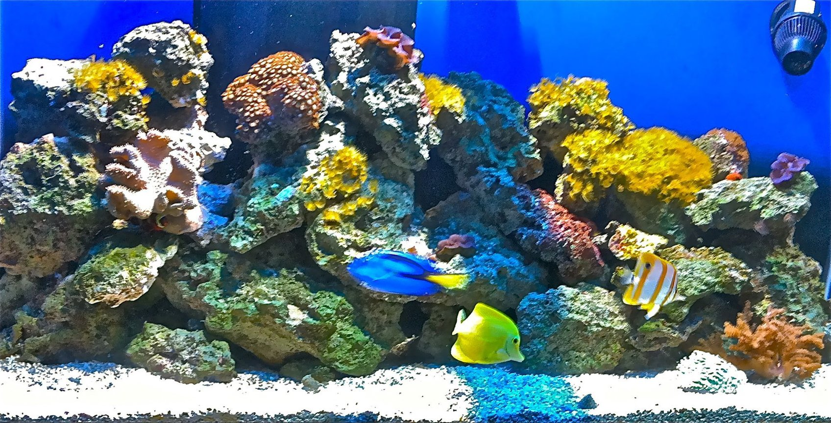110 gallons reef tank (mostly live coral and fish) - Tank with Leather Toadstool, Many different types of corals. Blue Regal, Yellow Tang, Copperband, and Clownfish.
