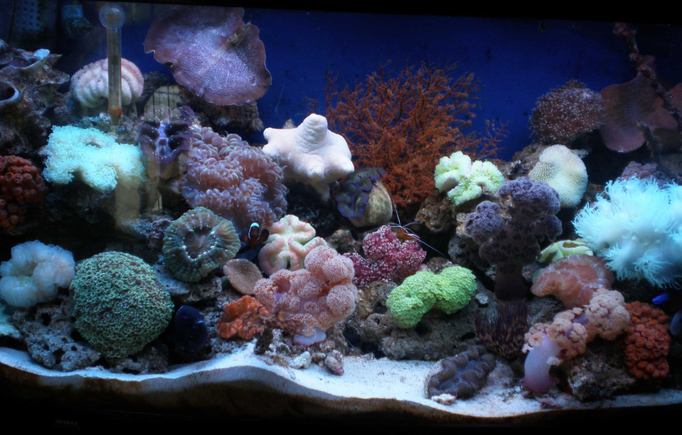 50 gallons reef tank (mostly live coral and fish) - my reef tank