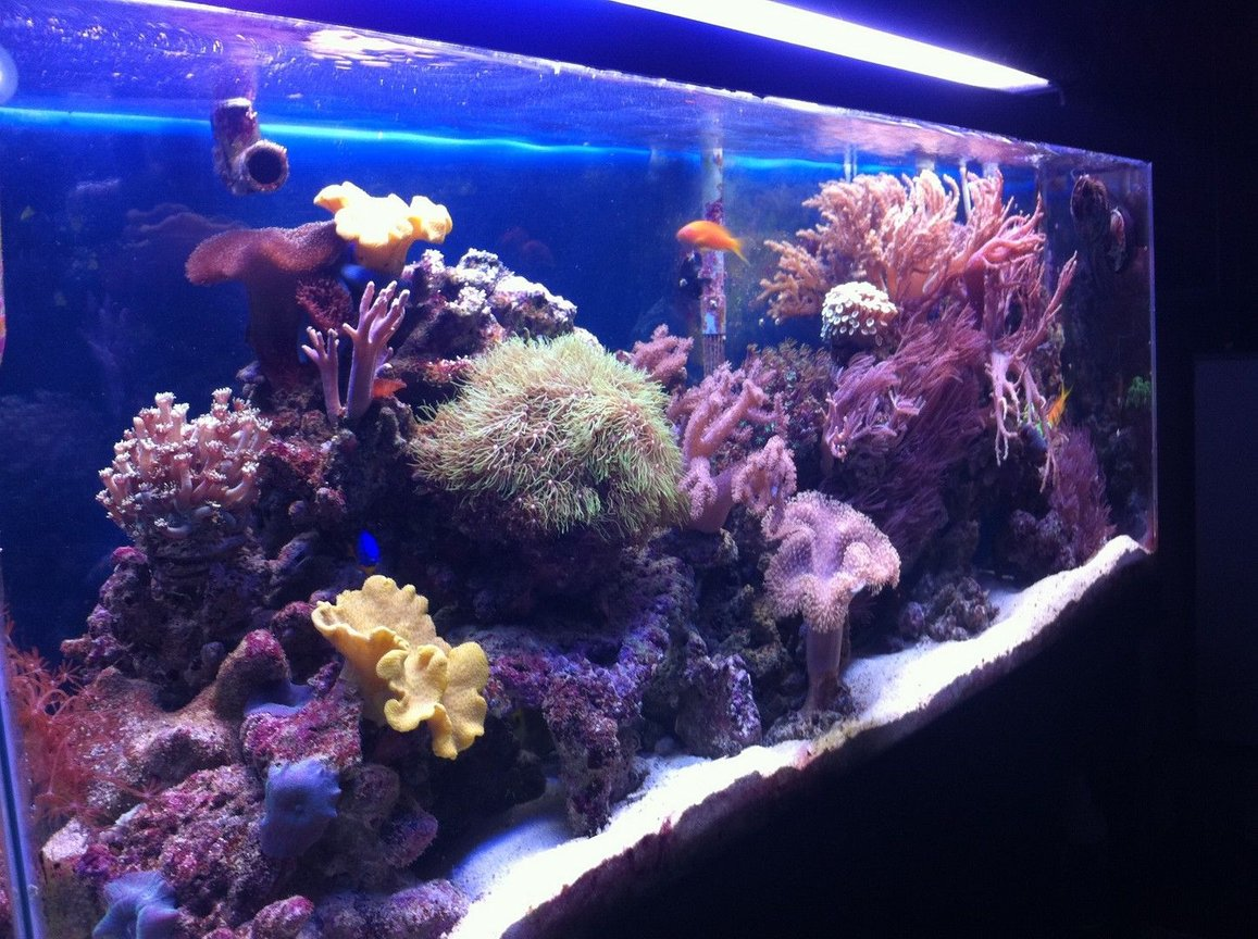 55 gallons reef tank (mostly live coral and fish) - original tank, trying for better quality upload...