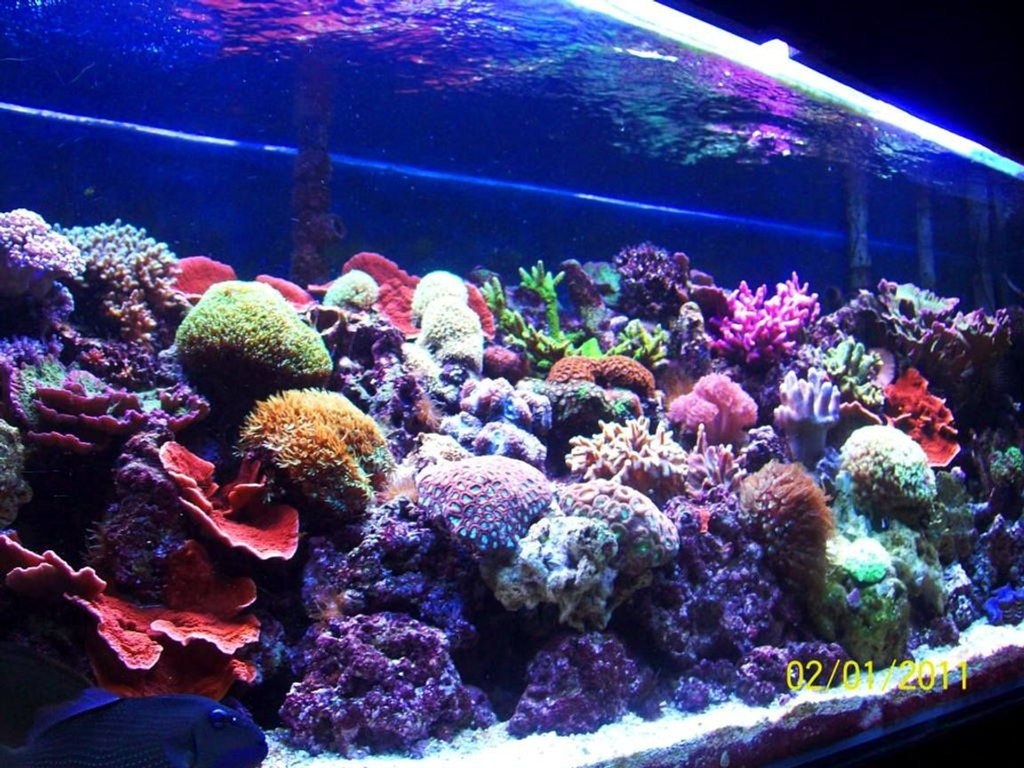 180 gallons reef tank (mostly live coral and fish) - 180 Reef with various Hard and Soft Corals. T5 lighting Only.