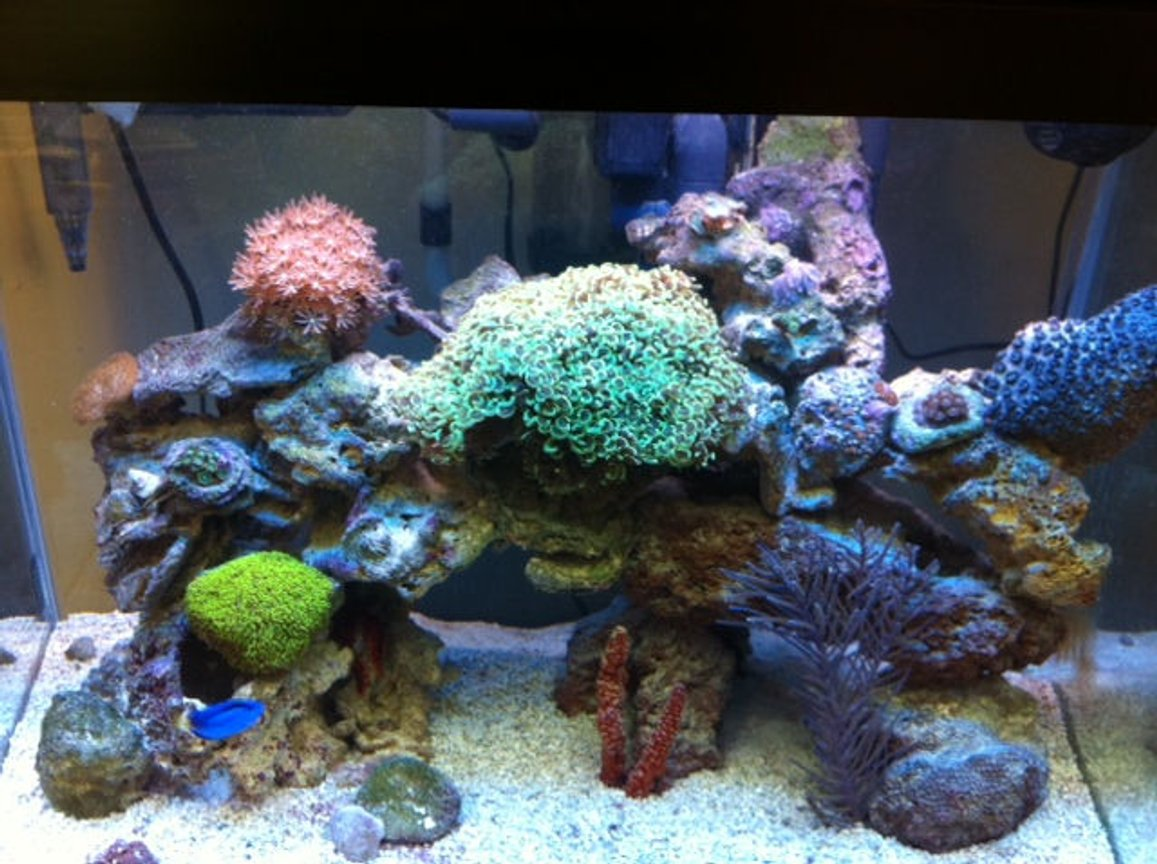 56 gallons reef tank (mostly live coral and fish) - Reef Tank