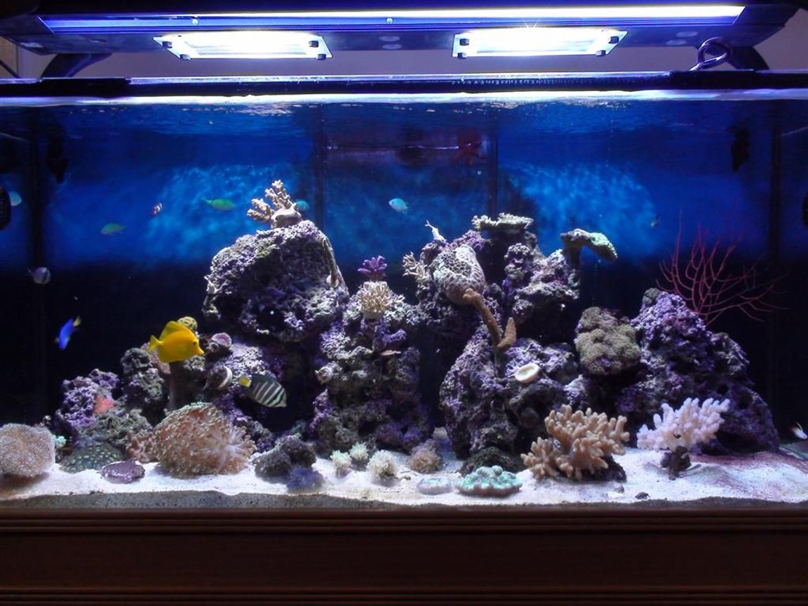 150 gallons reef tank (mostly live coral and fish) - My 150g Mixed Reef