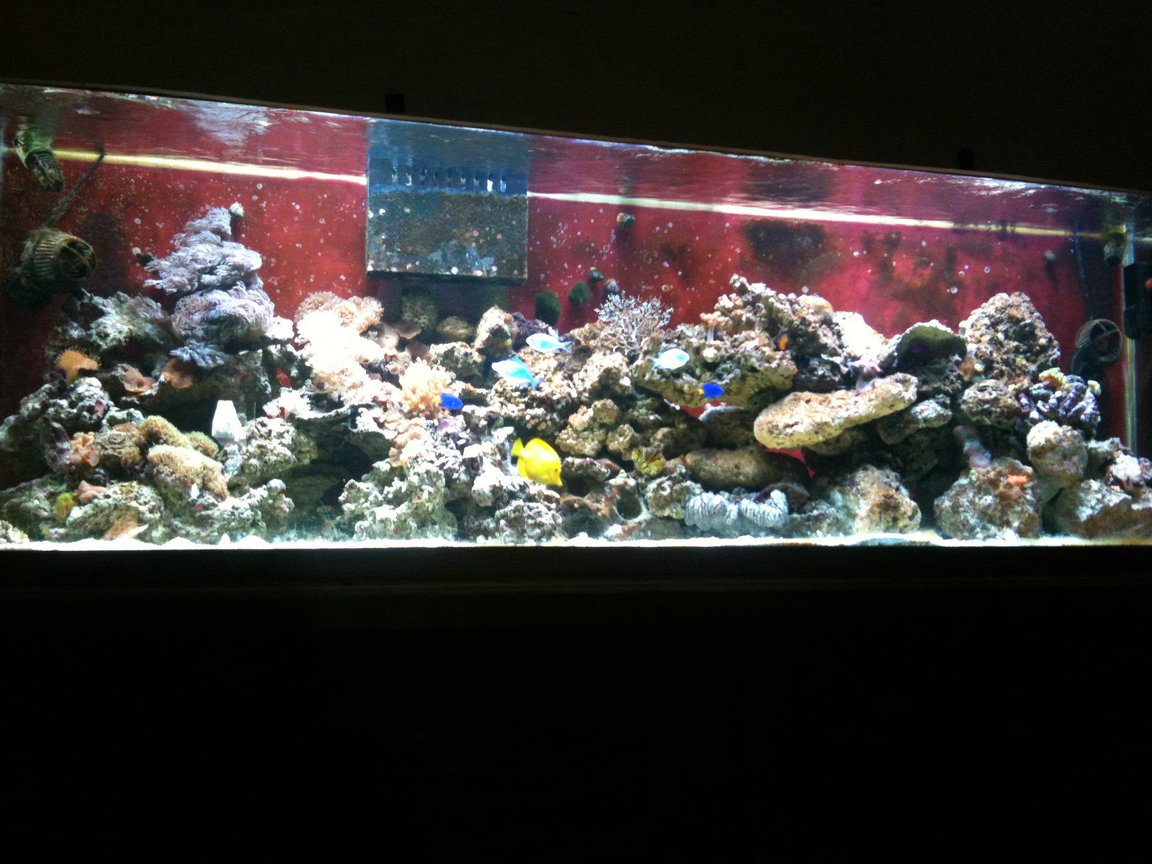 125 gallons reef tank (mostly live coral and fish) - my 125 at 6 months