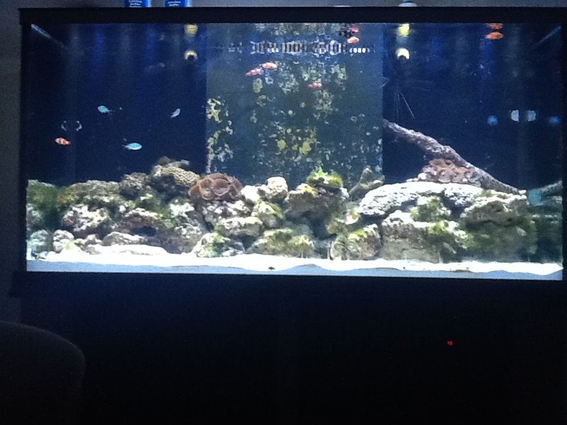 90 gallons reef tank (mostly live coral and fish) - Starting up my reef tank. Its only been running for a month or so.