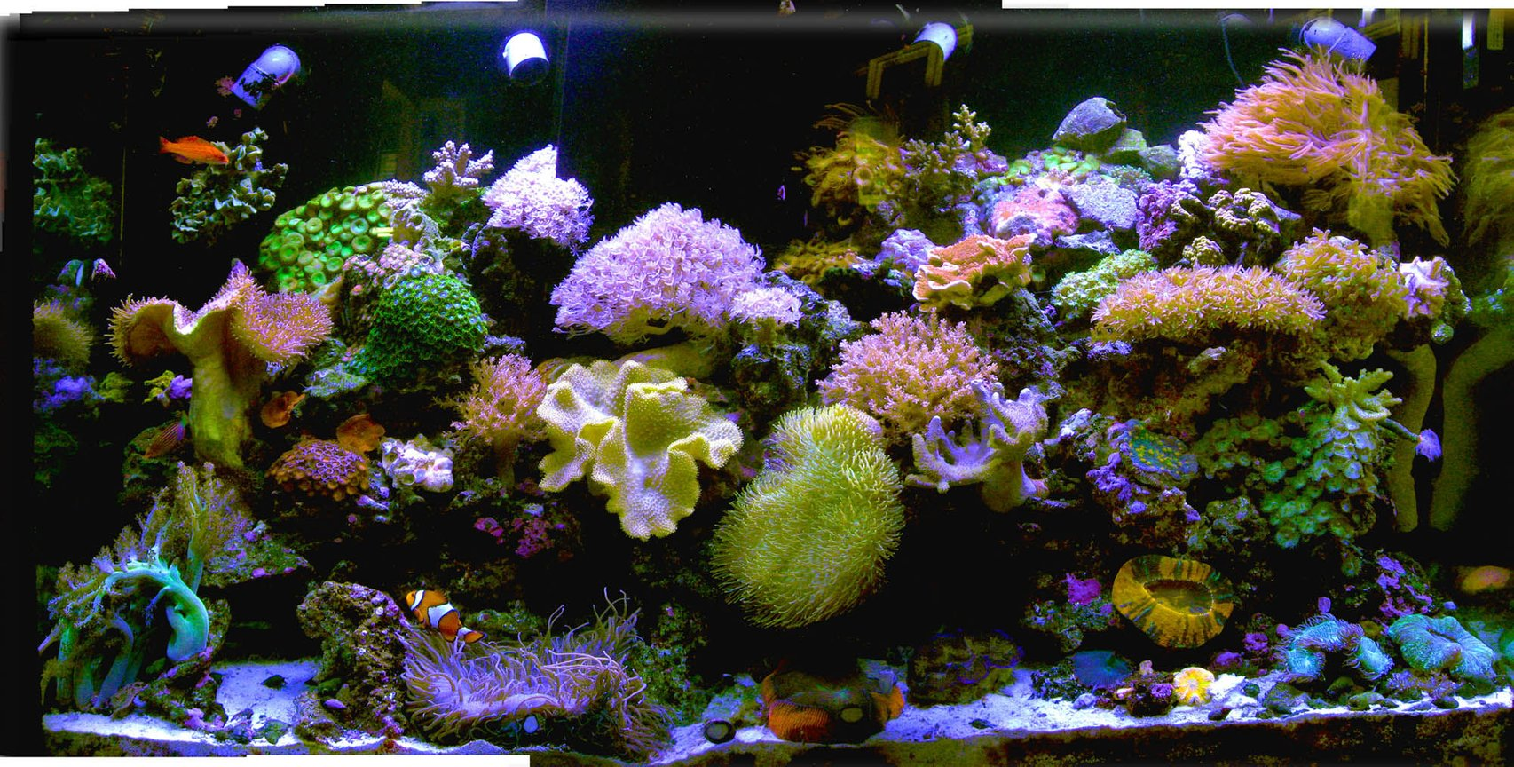 140 gallons reef tank (mostly live coral and fish) - my new old tank after the house got hit by lightening and the lights didnt work for 2 weeks when we were out of town(of course) and all the fish were electrocuted :-( the large corals survived