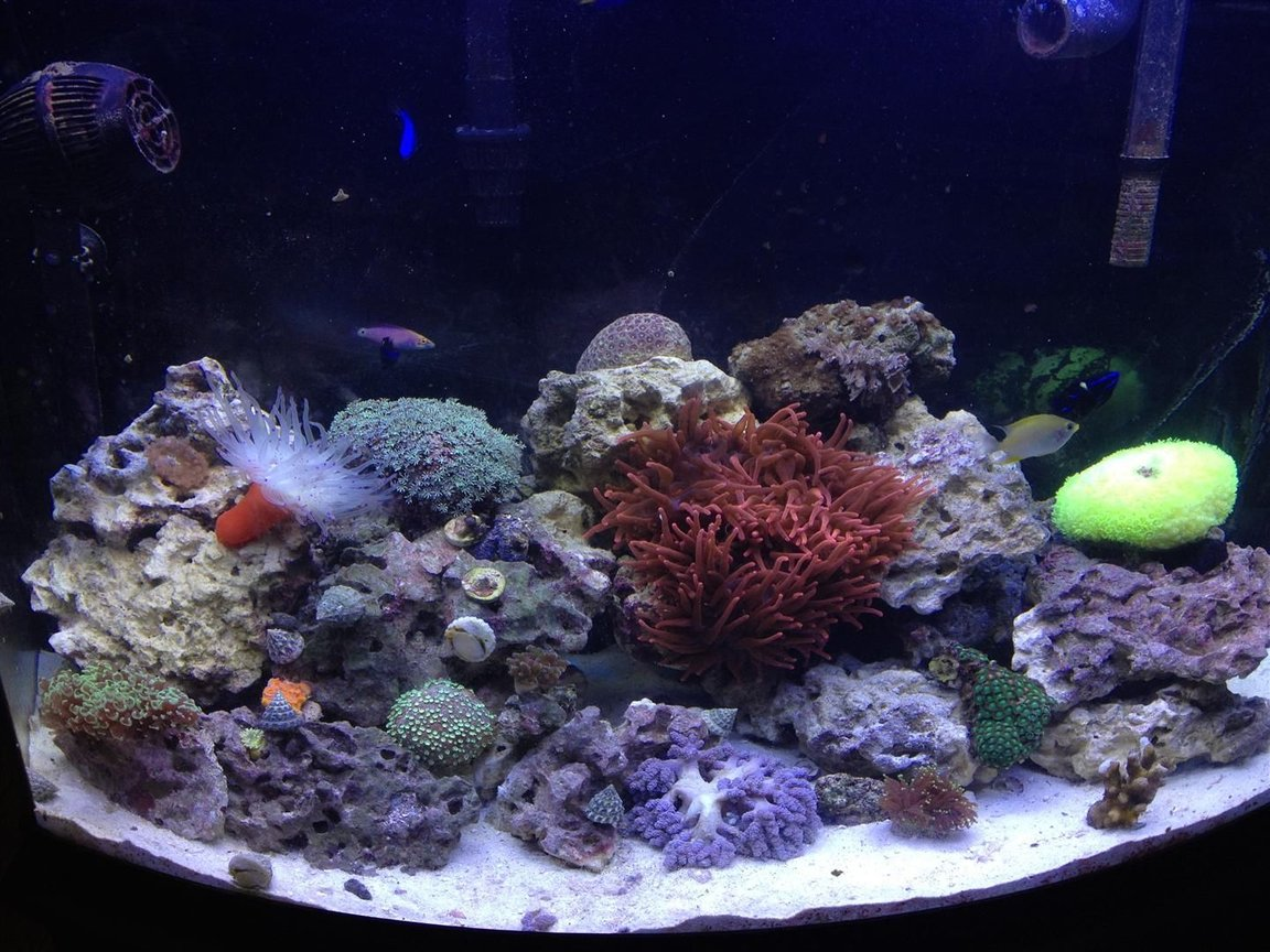 36 gallons reef tank (mostly live coral and fish) - My 36g Bowfront Reef Tank