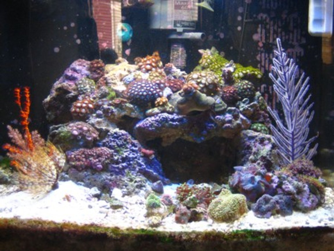 24 gallons reef tank (mostly live coral and fish) - zoanthid heaven