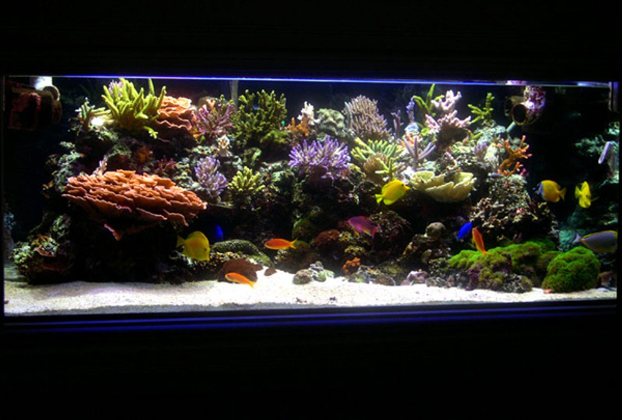 225 gallons reef tank (mostly live coral and fish) - Main Tank: 225gl Starphire (60Lx36Wx24H) Euro-Braced Reef Tank Water Movement: TUNZE 6100 Stream, SEIO 1500, One Aquaclear 270 Powerhead Main Pump: Sequence DART Skimmer: Deltec AP851 Calcium Reactor: GEO Calcium Reactor Main Lighting: Two 250 watt Metal Halide housed in Lumenarc III Reflectors Bulbs: Two XM 10K 250 Watt SE - Three 140 watt VHO (Two Uri Actinic, One Actinic White) Ballasts: Two Hellolights ARO PRO Series Ballasts M58 Sump: 45gl sump, 4 cups of carbon changed every month. Small Refugium in sump. Top Off: Tank is topped off with Kalkwasser using a Deltec KM500 Kalk Stirrer Water Parameters: Calcium: ~ 400 PPM Alkalinity: ~ 7.5dKH Specific Gravity: ~1.026 pH: ~ 8.23 Temperature:~ 77.4 - 79.0 Nitrate: Undetectable Phosphate: Undetectable